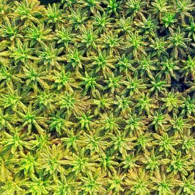 Palmen_Plantage